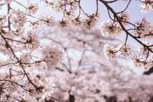 De Bloei van Sakura